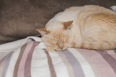 Light ginger cat sleeping Royalty Free Stock Images