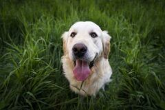Light Golden Retriever Sitting on Green Grass during Daytime Stock Photography