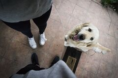 Light Golden Retriever Beside Standing Person in White Shoes Stock Image