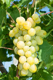 Light grapes on grapevine in a vineyard Stock Photography