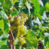 Light grapes. Sunny grape in field on France Royalty Free Stock Photos