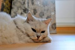A light gray cat is resting on the floor with open eyes. A light gray chinchilla cat is resting on the floor with open eyes royalty free stock photo