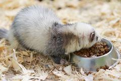 Light gray ferret eats from the trough royalty free stock images