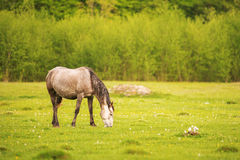 Light gray horse grazes on a green spring meadow against a background of a young forest in the setting sun Stock Photography