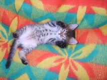 Light gray kitten tummy lying on her back lifting legs on the colored rug and plays Royalty Free Stock Image