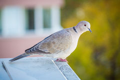 A light gray pigeon with colored background Stock Images