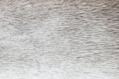 Light gray polar fox fur background (texture) Royalty Free Stock Photos