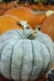 Light Gray Pumpkin. A light gray pumpkin in a patch of orange pumpkins, some small Royalty Free Stock Image