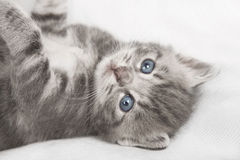 Light gray striped cat Royalty Free Stock Photos