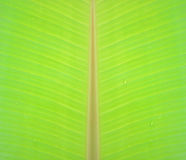 Light Green banana leaf with texture Stock Photo
