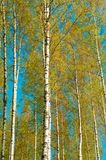 A light green birch in early Spring. Finnish trees with contrast colors on the blue sky.  royalty free stock image