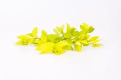 Light green branch. Of Japanese Spiraea Golden Carpet Royalty Free Stock Photo