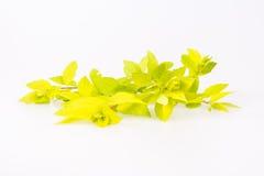 Light green branch. Of Japanese Spiraea Golden Carpet Stock Image