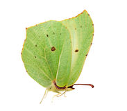 Light green brimstone butterfly Royalty Free Stock Photo