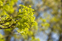 Light-green buds of maple. With a blurred background close-up stock photo