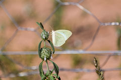 Light green butterfly Stock Photo