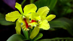 Light green cattleya orchids Royalty Free Stock Photo