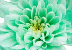 Light green chrysanthemum Stock Photos