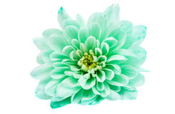 Light green chrysanthemum Stock Photography