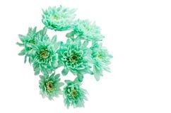 Light green chrysanthemum Royalty Free Stock Image