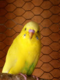 Light green clearwing budgie. A close-up blurred view of a light green clearwing male budgie Royalty Free Stock Image