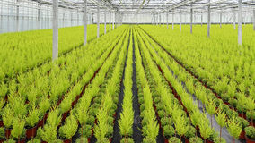 Light green conifers lined up in a greenhouse Stock Image