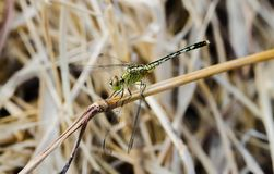 Light Green Dragonfly macro on a grass. On a meadow Stock Photo
