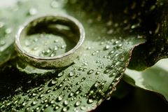 Light Green Eucalyptus engagement ring with water Drops. Green Eucalyptus with water Drops , macro water drops, light green leaves, romantic and spa, relaxing stock photography
