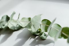 Light Green Eucalyptus with water Drops. Green Eucalyptus with water Drops , macro water drops, light green leaves, romantic and spa, relaxing palette stock images
