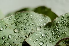 Light Green Eucalyptus with water Drops. Green Eucalyptus with water Drops , macro water drops, light green leaves, romantic and spa, relaxing palette stock image