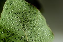 Light Green Eucalyptus with water Drops. Green Eucalyptus with water Drops , macro water drops, light green leaves, romantic and spa, relaxing palette royalty free stock photography