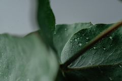 Light Green Eucalyptus with water Drops. Green Eucalyptus with water Drops , macro water drops, light green leaves, romantic and spa, relaxing palette royalty free stock photos