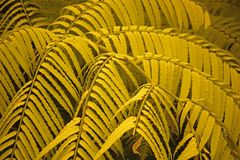 LIGHT GREEN FERN LEAVES WITH A YELLOW HUE royalty free stock photo