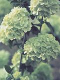 Light green flowers clustered in balls royalty free stock photography
