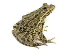 Light green frog. On white background Stock Image