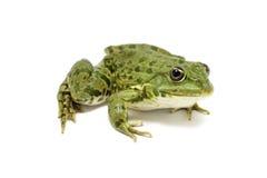 Light green frog Stock Image