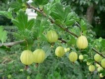 Gooseberry growing in the garden stock image