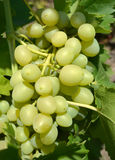 Light green grapes growing in the garden Stock Images