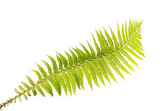 Light green isolated fern frond. Green fern branch isolated on white background Royalty Free Stock Photo