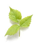 Light green leafs. On white background royalty free stock photo