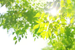 Sunshine through green tree leaves Stock Photo