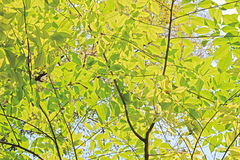 Light green leaves background in sunny day Royalty Free Stock Photos