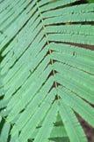 Light green leaves of Climbing Wattle tree, Acacia pennata (L.), THAI Stock Images