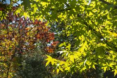 Light green leaves of Liquidambar styraciflua right and above close-up against the sun. royalty free stock image