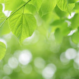 Light green linden tree and blurred background Stock Photography