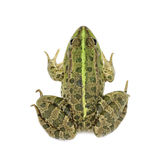 Light green marsh frog Royalty Free Stock Photos