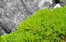 Light green moss Royalty Free Stock Images