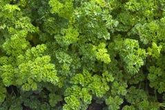 Light green parsley Royalty Free Stock Image