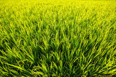Light green rice field on a bright sunny day. Nature. Stock Photography