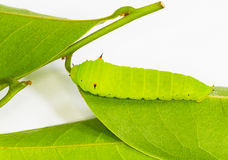 Light green Tailed Jay Caterpillar Stock Images